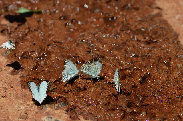 Butterflies are drawn to water from the deep Guarani aquifer as scientists sample it to determine how long the water has been underground. The study found that helium filters from the Earth's crust into aquifers, where it is carried to the surface and released. Photo by Wei Jiang, Argonne National Laboratory.