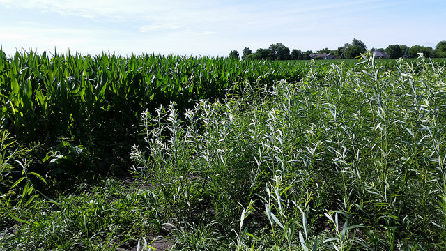 In collaboration with the farming community of the Indian Creek Watershed in central Illinois, Argonne researchers are finding ways to simultaneously meet three objectives: maximize a farmer's production, grow feedstock for bioenergy and protect the environment. Photo courtesy Patty Campbell
