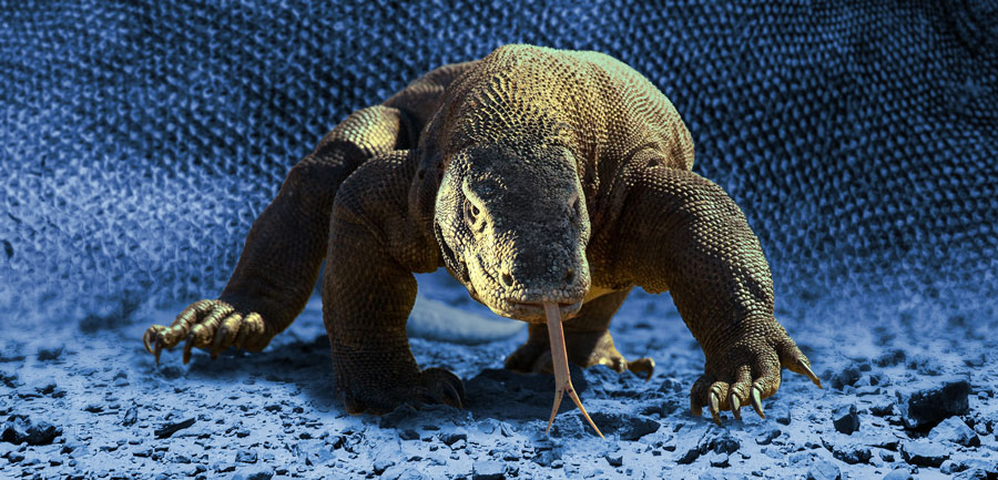 A komodo dragon in the wild.
