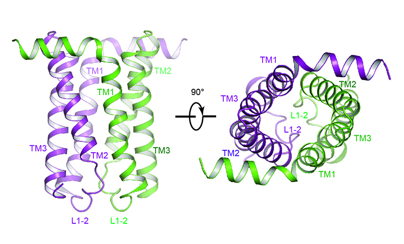 This 3D structural model of the SemiSWEET protein was based on data collected at the NE-CAT beamline at Argonne's Advanced Photon Source . The two colors (green and purple) represent two copies of the protein molecules that, when joined, function as a single unit to allow sugar molecules across the membrane. Credit: Feng et al.
