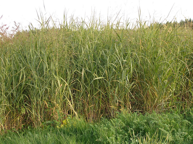 A switchgrass plot grown as part of an Argonne National Laboratory-led study to test how genetic variation within the switchgrass species affects growth.