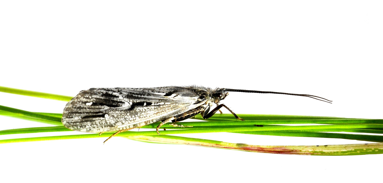 Most people know the caddisfly as the artificial bug on fly fishing lures.