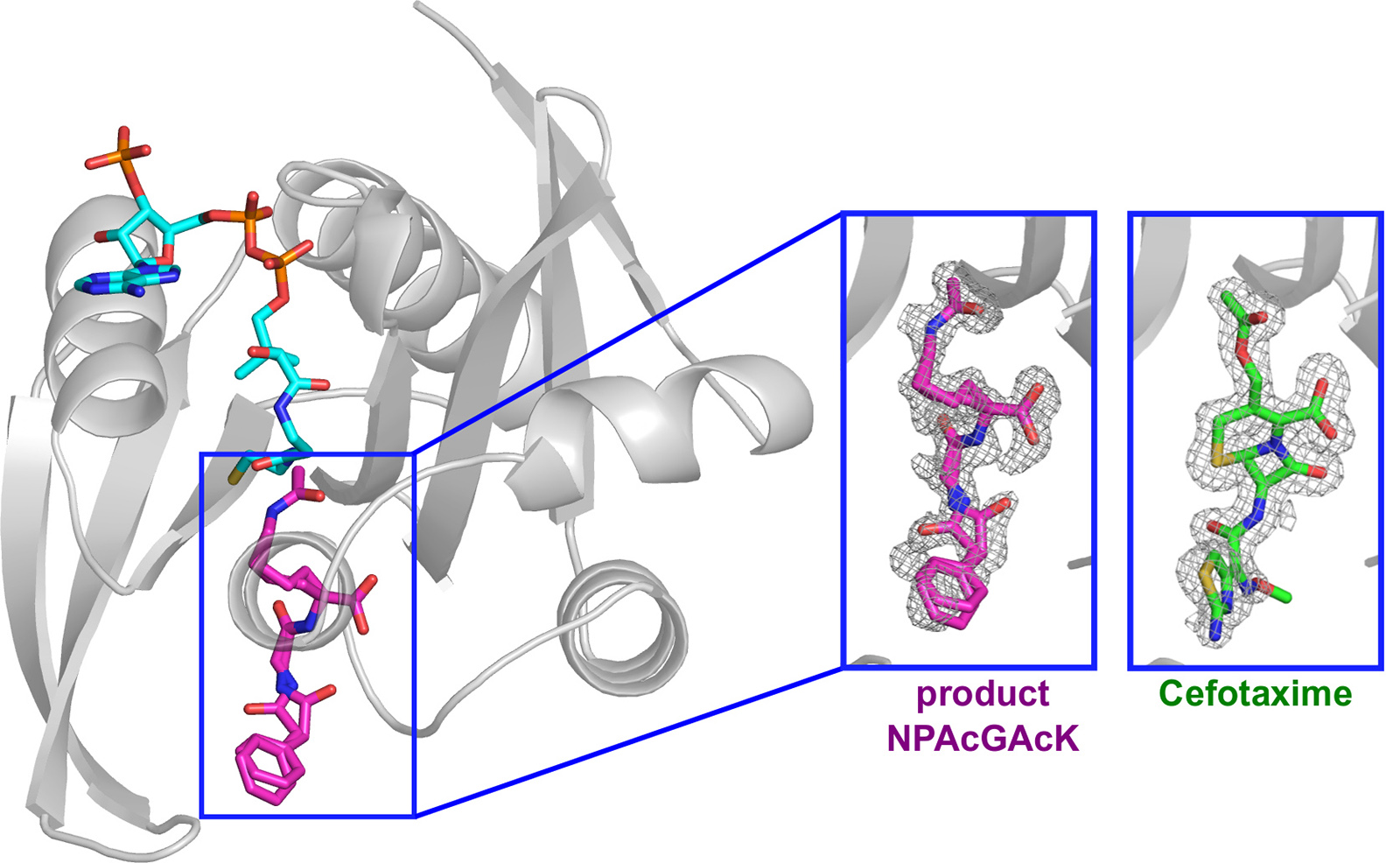In a 3D structure of the protein, the binding site is shown in pink, representing a potential drug target. The green molecule shows binding of an antibiotic to the protein.