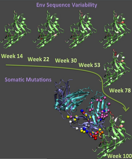 The evolution of the viral protein (green) from 14 weeks through 100 weeks post-transmission is compared with the maturation of the human antibody. Image courtesy Los Alamos National Laboratory.