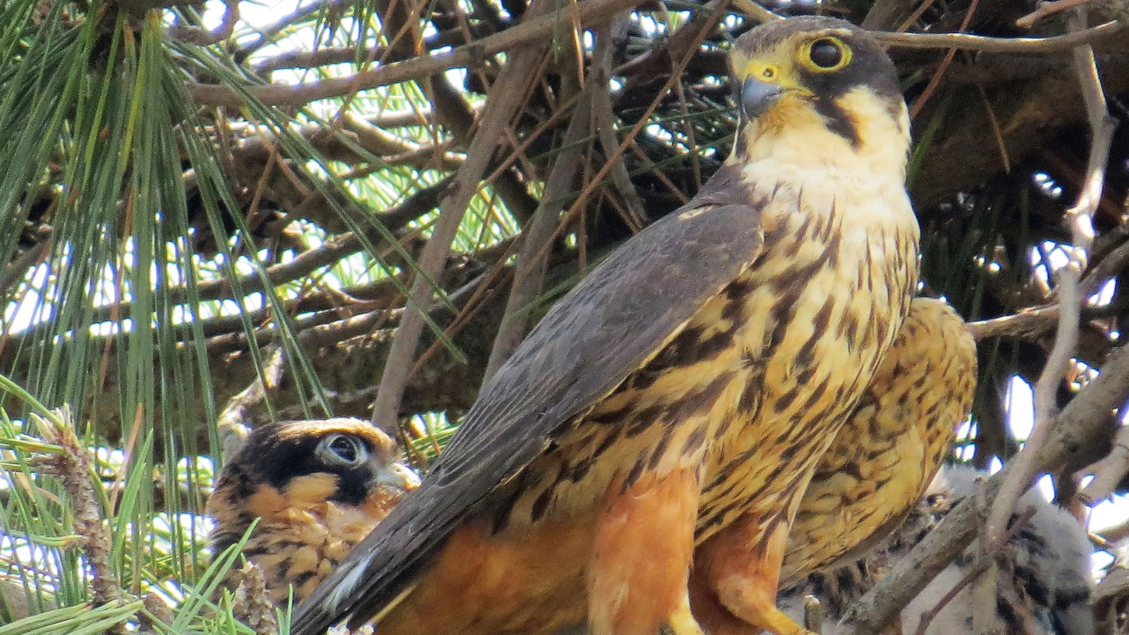 This Eurasian Hobby is one of several Korean natural monument species that Argonne's ecologists are helping to protect. (Image by Argonne National Laboratory.)
