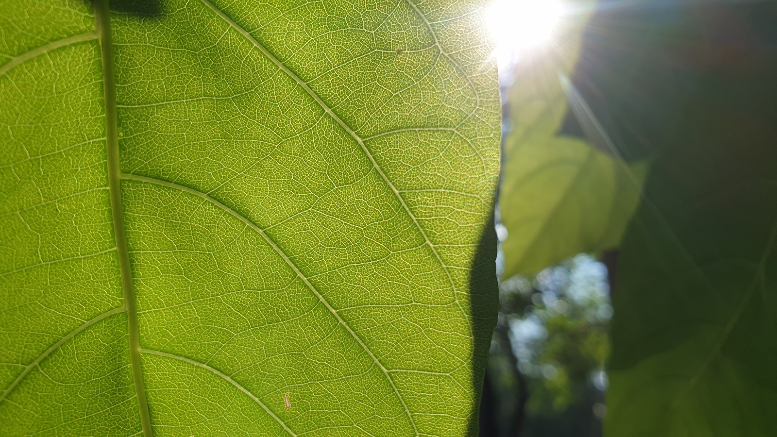 photosynthesis - green leaf with sun in background