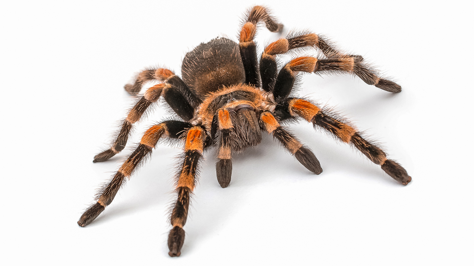 Both human and tarantula muscles contain myosin, which triggers muscle movement. Studying tarantula muscles at the APS can help scientists understand human muscle movement. (Image by Pets in Frames / Shutterstock.)