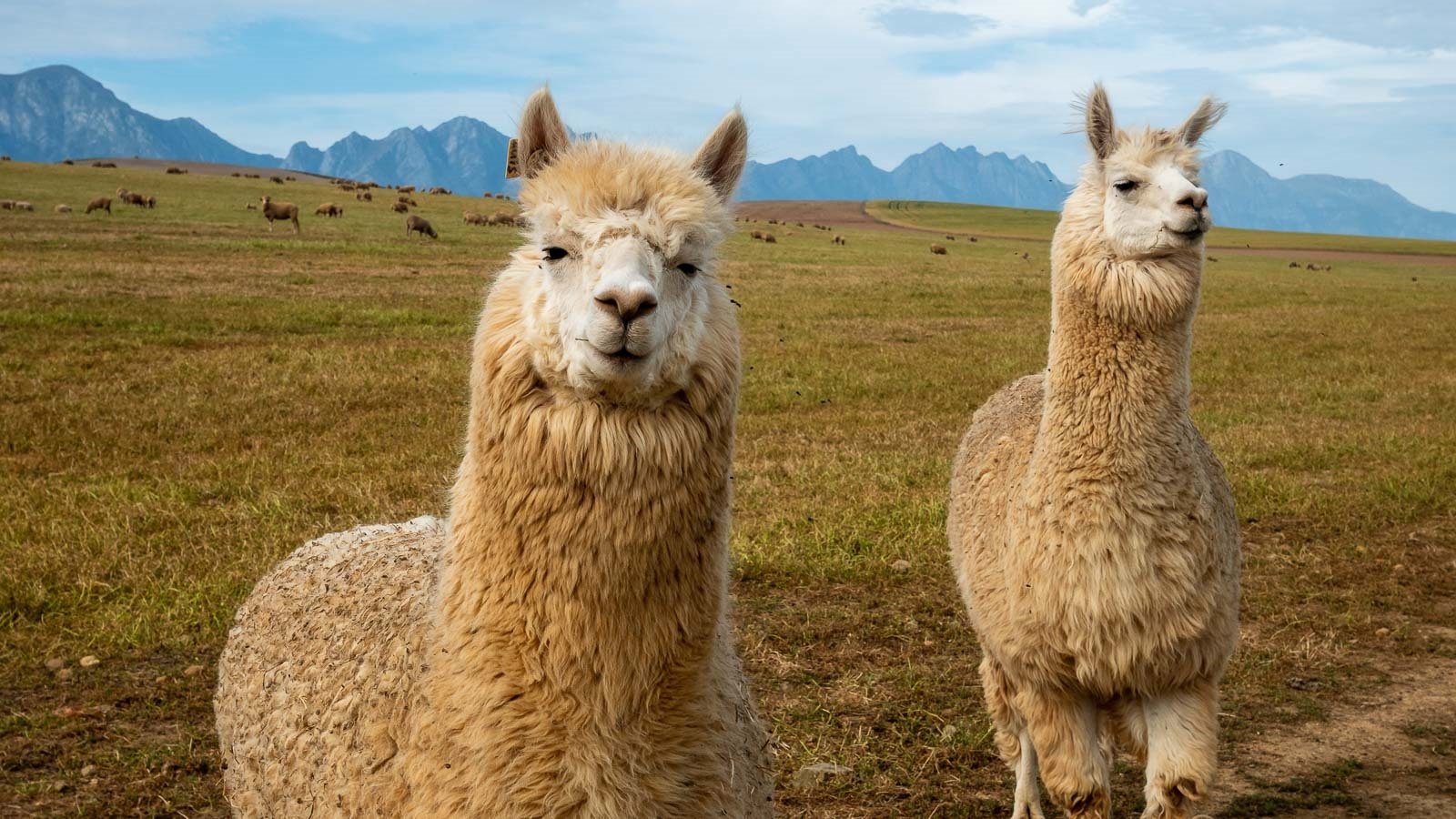 Llamas and other camelid mammals naturally produce tiny nanobodies against infections. Scientists are testing whether these small, stable antibodies might be an effective treatment against COVID-19. (Image by Shutterstock/Roger de la Harpe.)