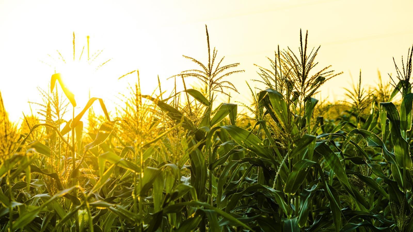 Corn field. (Image by Shutterstock/TB studio.)