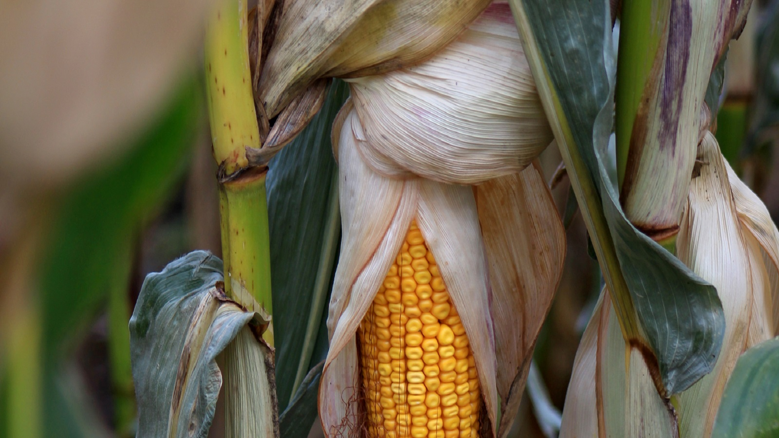 Argonne recently teamed up with a Colorado-based biofuel company to perform a critical lifecycle analysis of its next gen technology to produce renewable jet fuel from corn grain in what could be a game-changer in biofuel industry. (Gevo.)