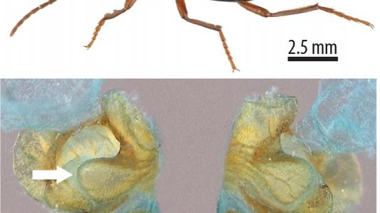 Top: The bombardier beetle can aim its noxious spray from two separate rear glands. Bottom: This colored scanning electron microscope image shows the structure of the two glands.