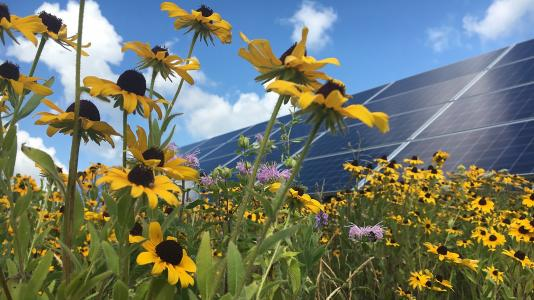 A low-growing perennial meadow at a solar facility in Minnesota