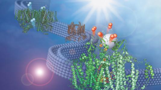 This image shows two membrane-bound protein complexes that work together with a synthetic catalyst to produce hydrogen from water. (Image by Olivia Johnson and Lisa Utschig.)