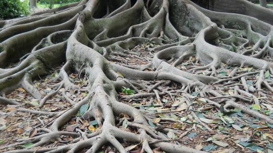 Aerial roots of the Ficus aurea tree, in Florida.