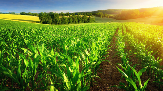 The use of corn ethanol from 2005 to 2019 has reduced the carbon footprint in the United States and diminished greenhouse gases, according to an Argonne study. (Image by Smileus/Shutterstock.)