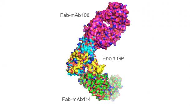 Researchers grew crystals of two antibodies, mAb114 and mAb100, in complex with the Ebola virus protein. Using the Advanced Photon Source, the researchers were able to show how these antibodies could neutralize the virus.